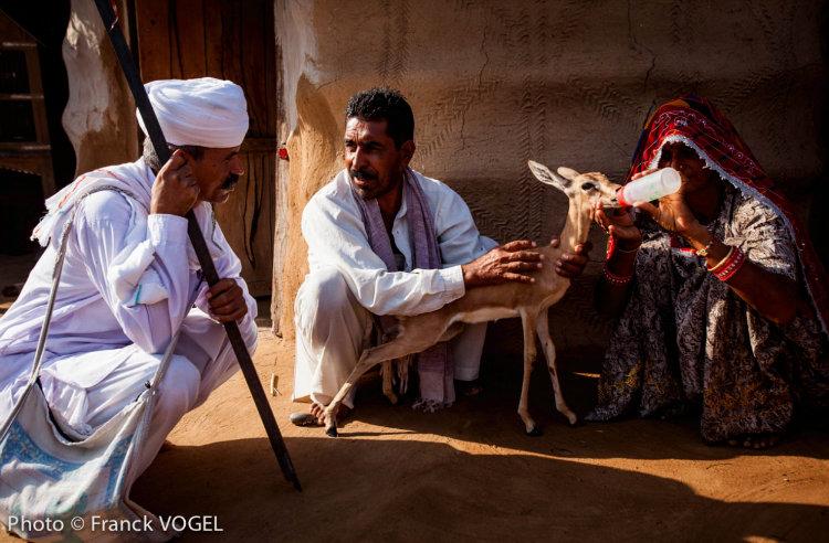 Bishnois feeding deer