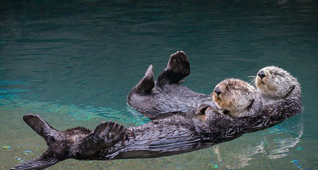 sea otters sleep holding hands