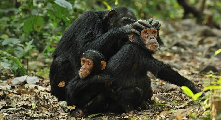 Chimpanzees fart
