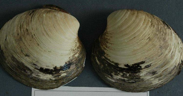 Ming clam