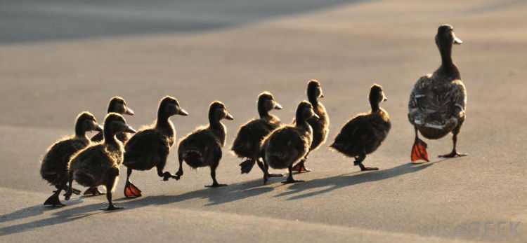 Ducks imprinting