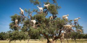 Goats on Argania tree