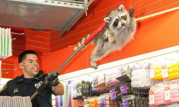 NYPD Racoon