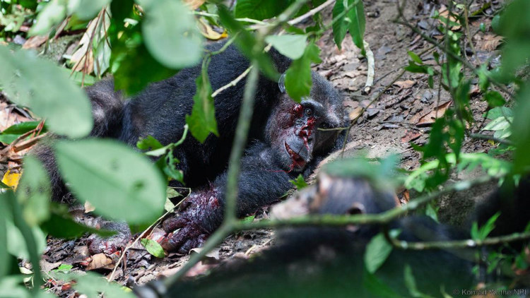 Chimpanzee Beaten to Death by His Fellows