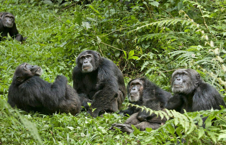 Chimpanzee Community