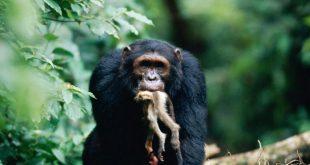 Gombe Chimpanzee War