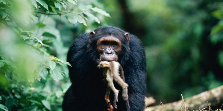 Chimps Eating Red Colobus Monkey