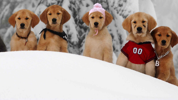 Golden Retriever Puppies from Snow Buddies