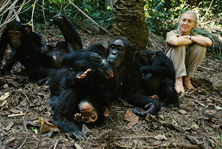 Jane Goodall with Chimpanzees