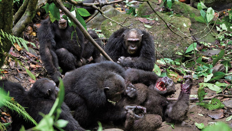 Violent Chimpanzees