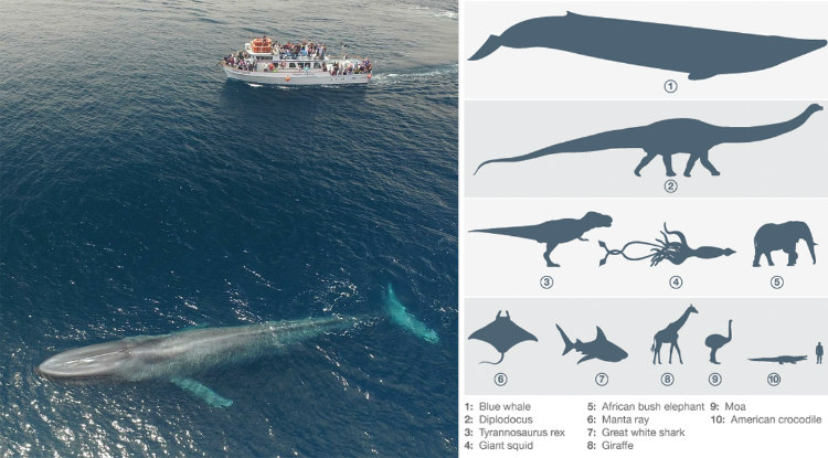 Blue Whale Beside 75 Feet Boat and Dinosaurs
