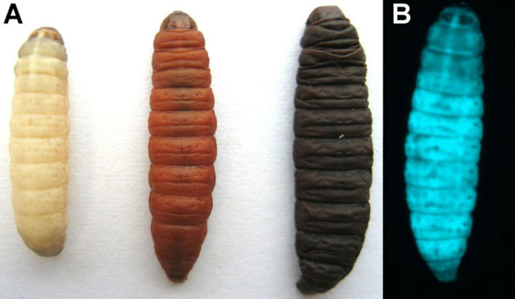 Larva Infected with P. Luminescens
