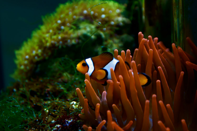 Clownfish in AquaDom