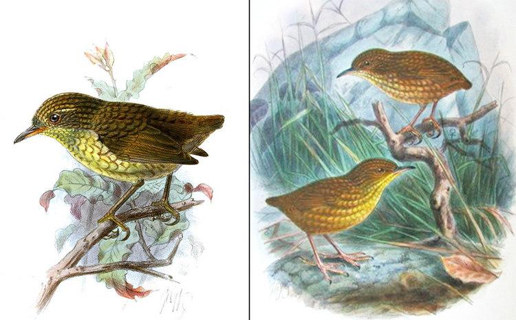 Lyall's Wren or Stephens Island Wren