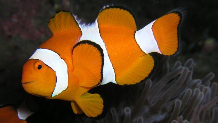 Male clownfish
