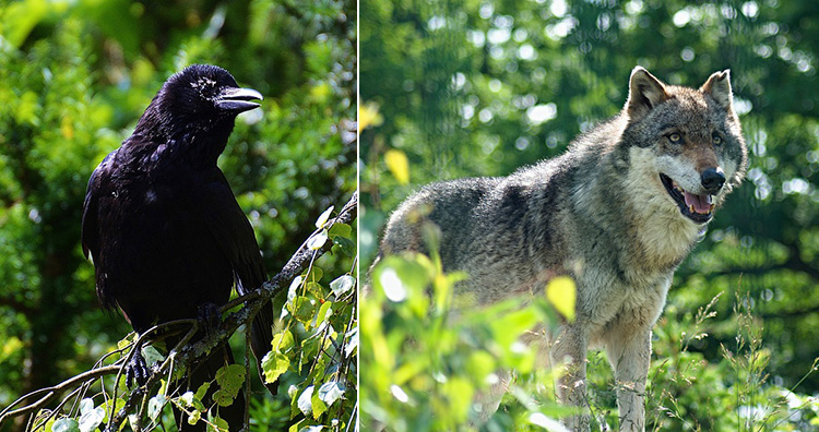Raven and wolf