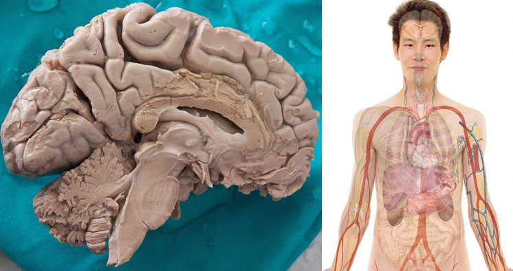 Human brain and body