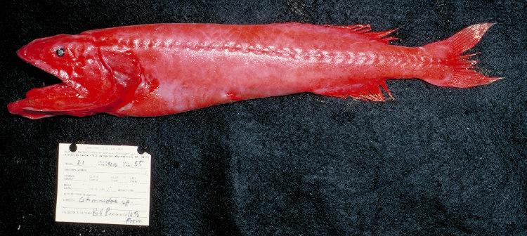 Flabby Whalefish