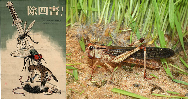 Four pests poster and locust