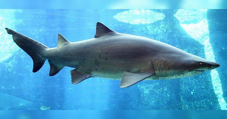 Carcharias Taurus aka Sand Shark