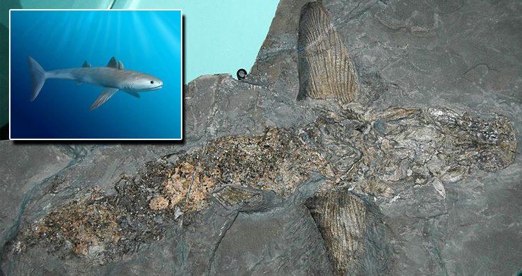 Cladoselache Fyleri Fossil