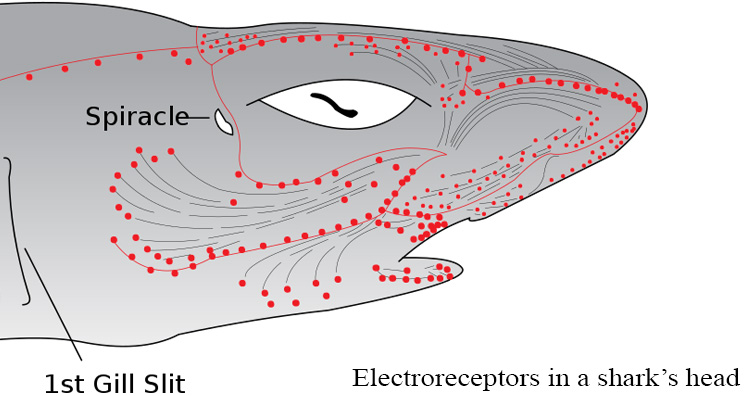 Electroreceptors in a shark's head.jpg
