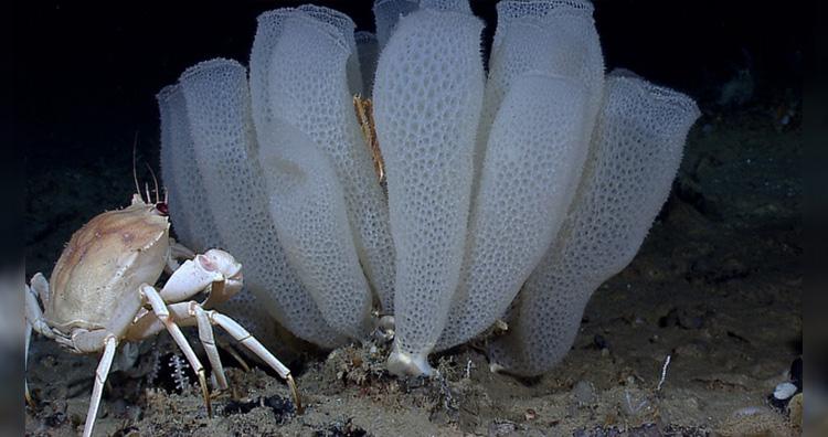 Glass sponges aka Hexactinellid sponges