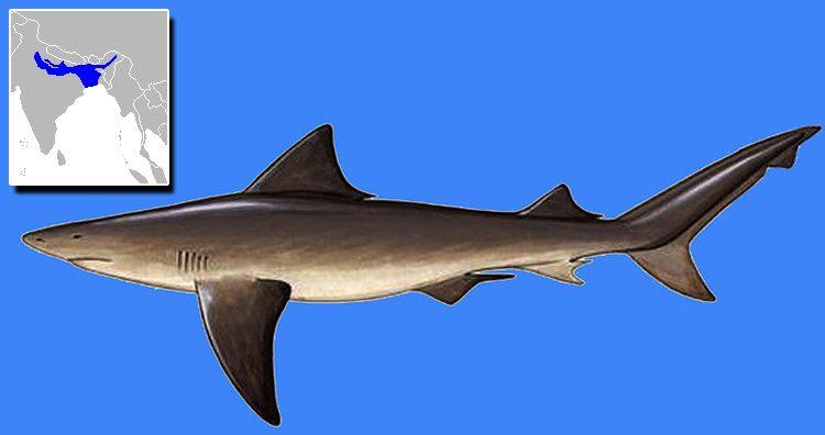 Glyphis gangeticus aka Ganges Shark
