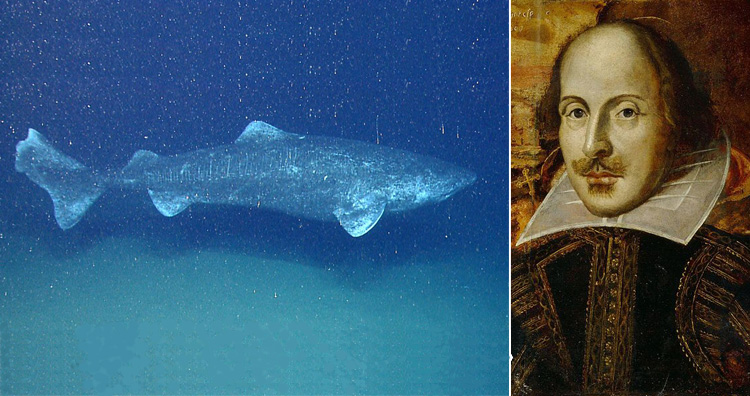 Greenland shark aka Somniosus microcephalus and William Shakespeare