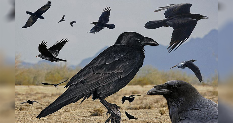 Group of Ravens