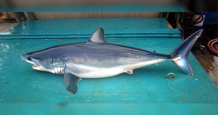 Isurus oxyrinchus aka Shortfin mako shark