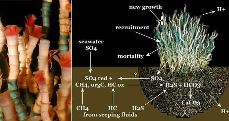Lamellibrachia luymesi aka Deep-sea Tube Worms