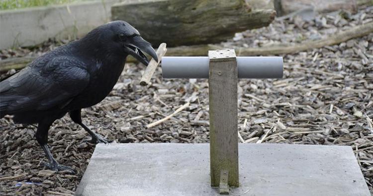 Raven solving puzzle