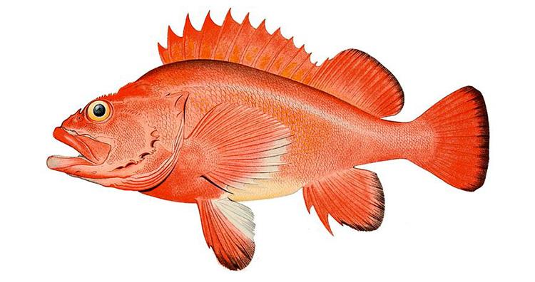 Rougheye rockfish aka Sebastes Aleutianus