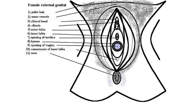 Vulva anatomy