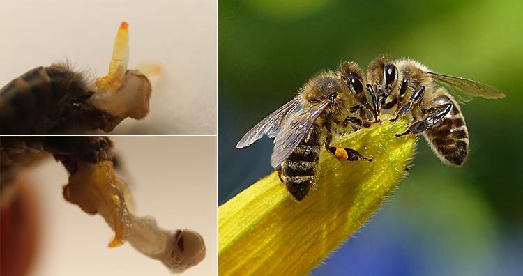 Bee in penis