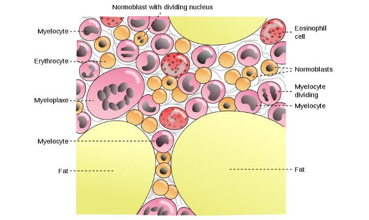 Cells in Bone Marrow