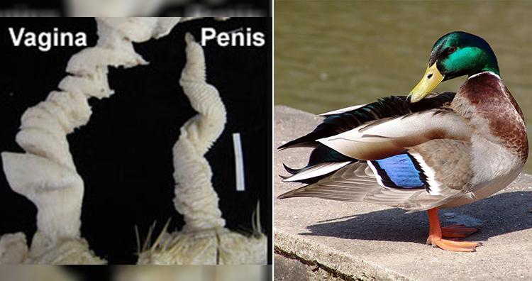 Duck Genitalia, Duck