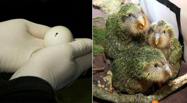 Kakapo Egg Hatching and Chicks