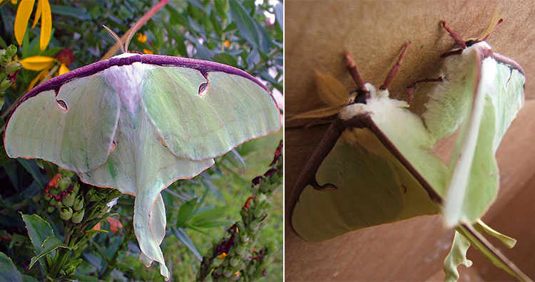 Luna Moth, Luna Moth Mating