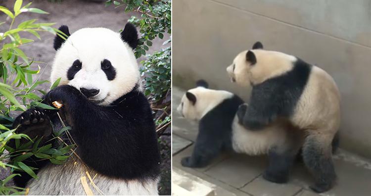 Panda, Panda mating