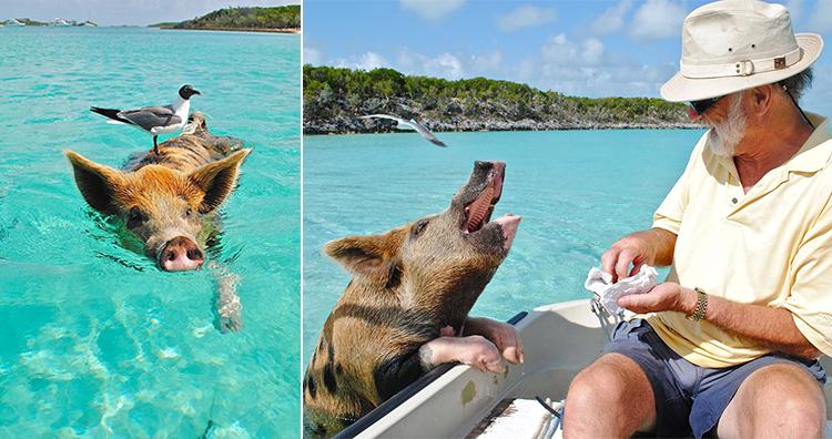 Pig Beach, Exuma Bahamas