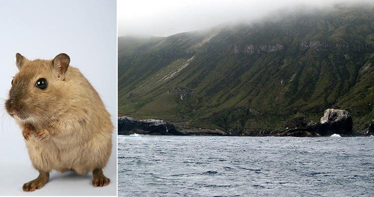 Rat, Antipodes Islands south bay