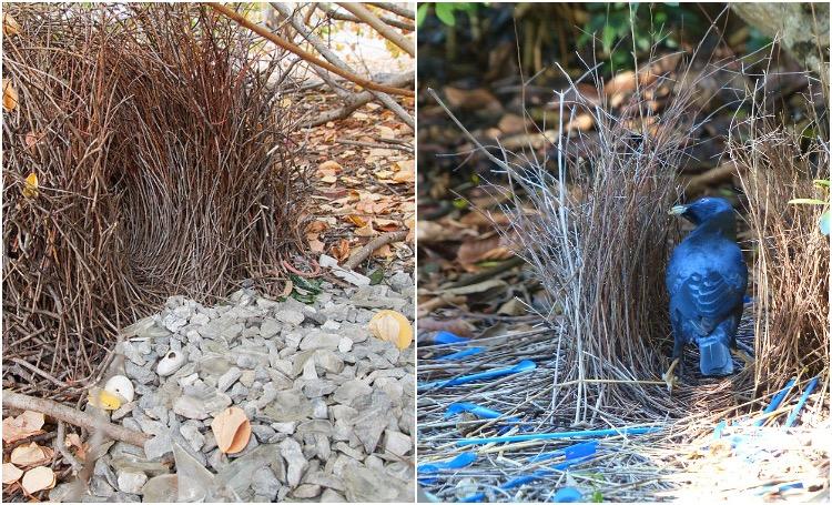 Bowerbird Nests
