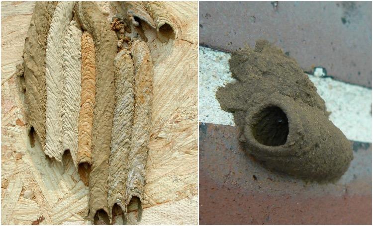 Mud Dauber Wasps Nests