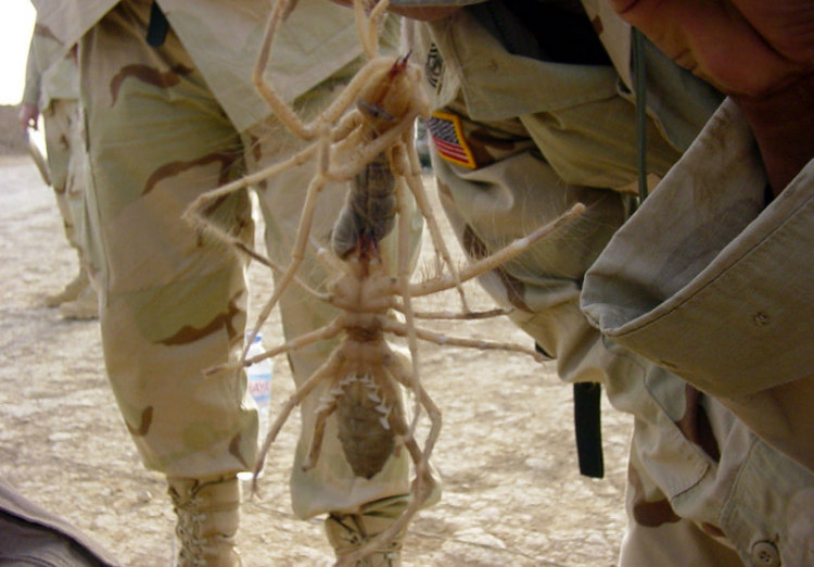 Camel Spiders Appearing Large
