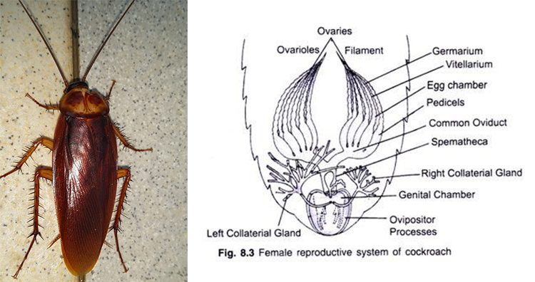 Cockroach, Female Cockroach Reproductive System