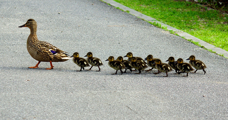 Ducklings following their mother