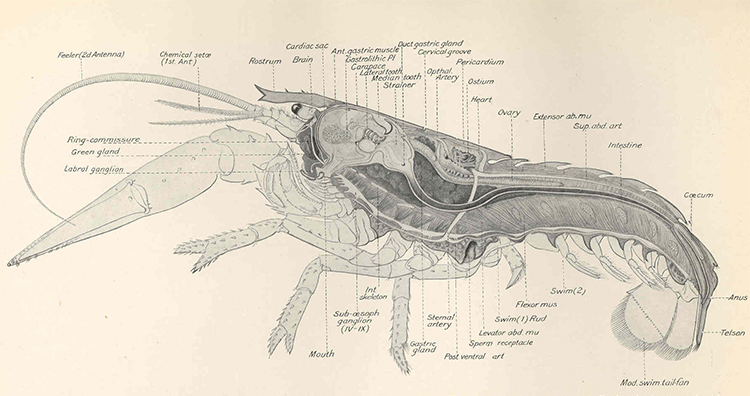 Female Lobster Anatomy