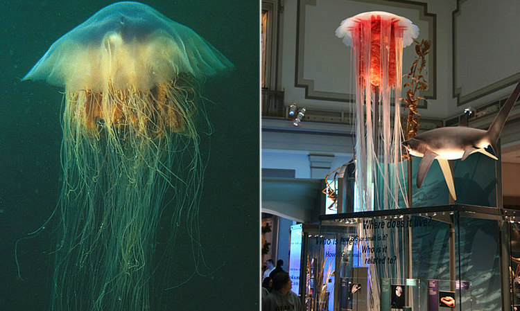 Lion's Mane Jellyfish, with a Lifesize Shark for Comparision
